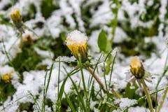 Unregelmäßiger Frühling in Weißrussland, fiel der Schnee im Mai 2017 Lizenzfreie Stockfotos