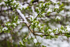 Unregelmäßiger Frühling in Weißrussland, fiel Schnee im Mai 2017 Lizenzfreies Stockfoto