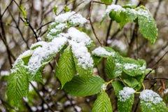 Unregelmäßiger Frühling in Weißrussland, Schnee auf Niederlassung des blühenden Baums im Mai 2017 Lizenzfreies Stockfoto
