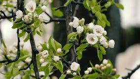 Unregelmäßiger Wetter-Nassschnee, der auf die Birnen-Baum-Blüte fällt stock video footage