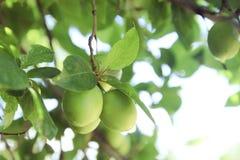 Unreife grüne Pflaume auf dem Baum Stockbild