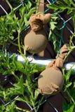 Unreife Wassermelonen, die in Nylonstrümpfe gestützt werden stockbilder