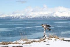 Unreifer Adler durch den Schacht Stockfoto
