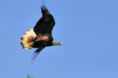 Unreifer amerikanischer kahler Adler im Flug Stockfotografie