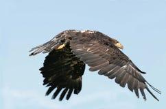 Unreifer kahler Adler im Flug Lizenzfreies Stockbild