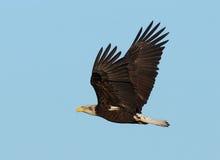 Unreifer kahler Adler im Flug Stockbild