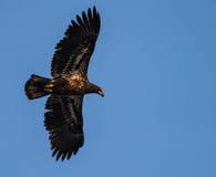 Unreifer kahler Adler im Flug Stockfoto