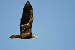 Unreifer kahler Eagle Flying in einem blauen Himmel Lizenzfreie Stockfotos