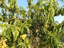 Unreifer Pfirsich auf Baum Lizenzfreies Stockbild
