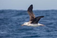 Unreifer schwarzer browed Albatros im Flug Stockbild