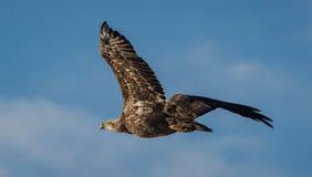 Unreifer Weißkopfseeadler lizenzfreies stockbild
