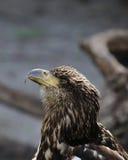 Unreifer Weißkopfseeadler im Profil Stockfotografie