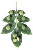 Unreifes grünes Blatt der Walnussfrucht s Lizenzfreies Stockfoto