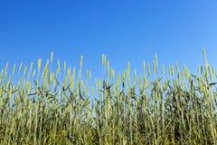 Unreifes grünes Gras Stockfotografie