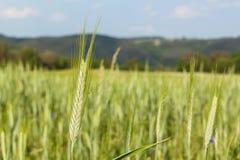 Unreifes grünes Korn Feld des Kornes Wachsen von landwirtschaftlichen Kulturen Ackerland in der Tschechischen Republik Stockbilder