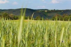 Unreifes grünes Korn Feld des Kornes Wachsen von landwirtschaftlichen Kulturen Ackerland in der Tschechischen Republik Stockfoto