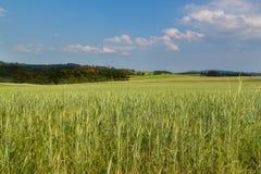 Unreifes grünes Korn Feld des Kornes Wachsen von landwirtschaftlichen Kulturen Ackerland in der Tschechischen Republik Lizenzfreies Stockfoto