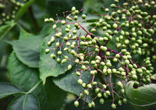 Unresolved fruits unripe elderberries Stock Photos