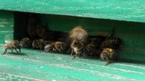 Unrestful bees in beehive. Unrestful bees in green beehive stock video footage