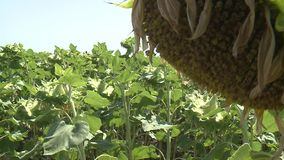 Unripe γεωργία τομέων ηλίανθων φιλμ μικρού μήκους