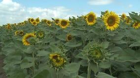 Unripe γεωργία τομέων ηλίανθων απόθεμα βίντεο