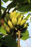 unripe διάνυσμα απεικόνισης αρχείων μπανανών cdr10 Στοκ φωτογραφίες με δικαίωμα ελεύθερης χρήσης