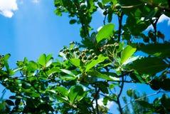 Unripe μαύρα μούρα σορβιών με τα φύλλα του υπαίθρια το φθινόπωρο Bu στοκ φωτογραφίες με δικαίωμα ελεύθερης χρήσης