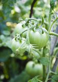 Unripe ντομάτες στον κήπο Στοκ φωτογραφίες με δικαίωμα ελεύθερης χρήσης