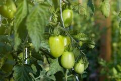 Unripe πράσινες ντομάτες που αυξάνονται στους κλαδίσκους Σε ένα θερμοκήπιο στοκ εικόνα