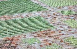Unripe φασόλια καφέ που ξεραίνουν στον ήλιο Στοκ φωτογραφία με δικαίωμα ελεύθερης χρήσης