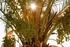 Unripe acai berries Stock Image