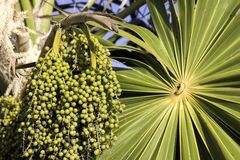 Unripe acai berries. Green unripe acai berries and palm frond Stock Images