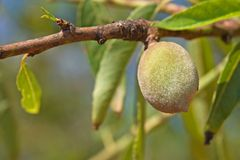 Unripe almond on tree Royalty Free Stock Photo