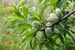 Unripe almonds on almond tree. Sunny spring day in Greece. Unripe almonds on almond tree. Sunny day in Greece Stock Images