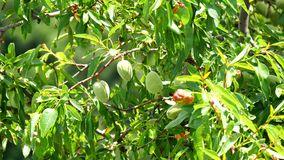 Unripe almonds in the tree (4K).  stock footage