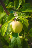 Unripe apple on a branch Royalty Free Stock Photo