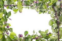 Unripe apple branches frame Stock Photography