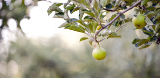 Unripe apple in a orchard on the morning. Single unripe apple in a orchard on the morning, image of a Royalty Free Stock Photos