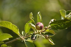 Unripe apple. Picture  of a Unripe apple Royalty Free Stock Photo