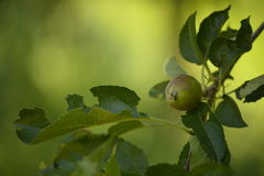 Unripe apple. Picture  of a Unripe apple Royalty Free Stock Image