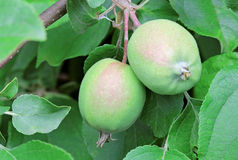 Unripe apples Stock Photography