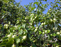 The unripe apples on apple tree branches.Close up in a sunny day Royalty Free Stock Images