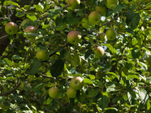 Unripe apples on an apple-tree Royalty Free Stock Photo