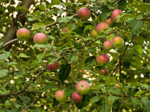Unripe apples on an apple-tree Royalty Free Stock Image