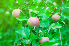 Unripe apples. On the branch Royalty Free Stock Images
