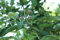 Unripe apples on a branch in the garden stock photo