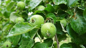 Unripe apples on the branch. June, 2016 Stock Images