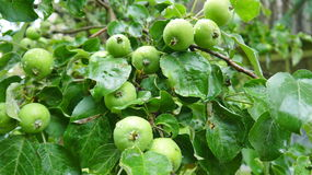 Unripe apples on the branch Royalty Free Stock Images
