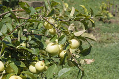Unripe apples Stock Photo