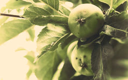 Unripe Apples Royalty Free Stock Photo